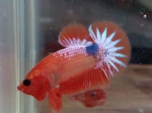 Hmpk male orange star tail