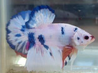 Hmpk male blue marble