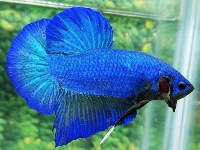 Blue Giant Betta For Sale