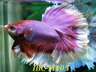 Butterfly Halfmoon Betta IBC-M105 For Sale