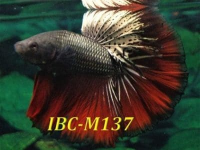 Dragon Halfmoon Betta IBC-M137 For Sale