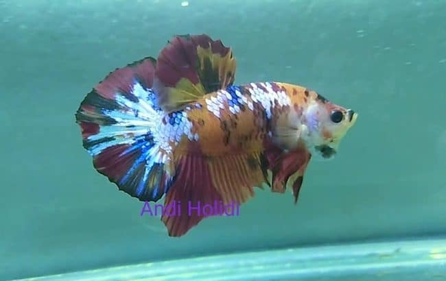 Fancy betta fish – Galaxy fancy plakat betta