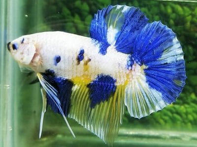Marble Giant Betta For Sale – Body 5cm