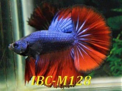 Purple Red Halfmoon Betta IBC-M128 For Sale
