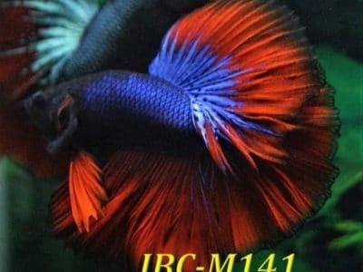 Purple Red Halfmoon Betta IBC-M141 For Sale