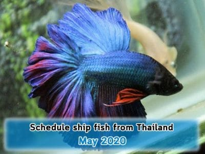 Schedule ship fish from Thailand on May 2020