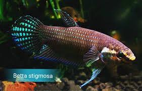 Wild Betta Stigmosa – Video Available